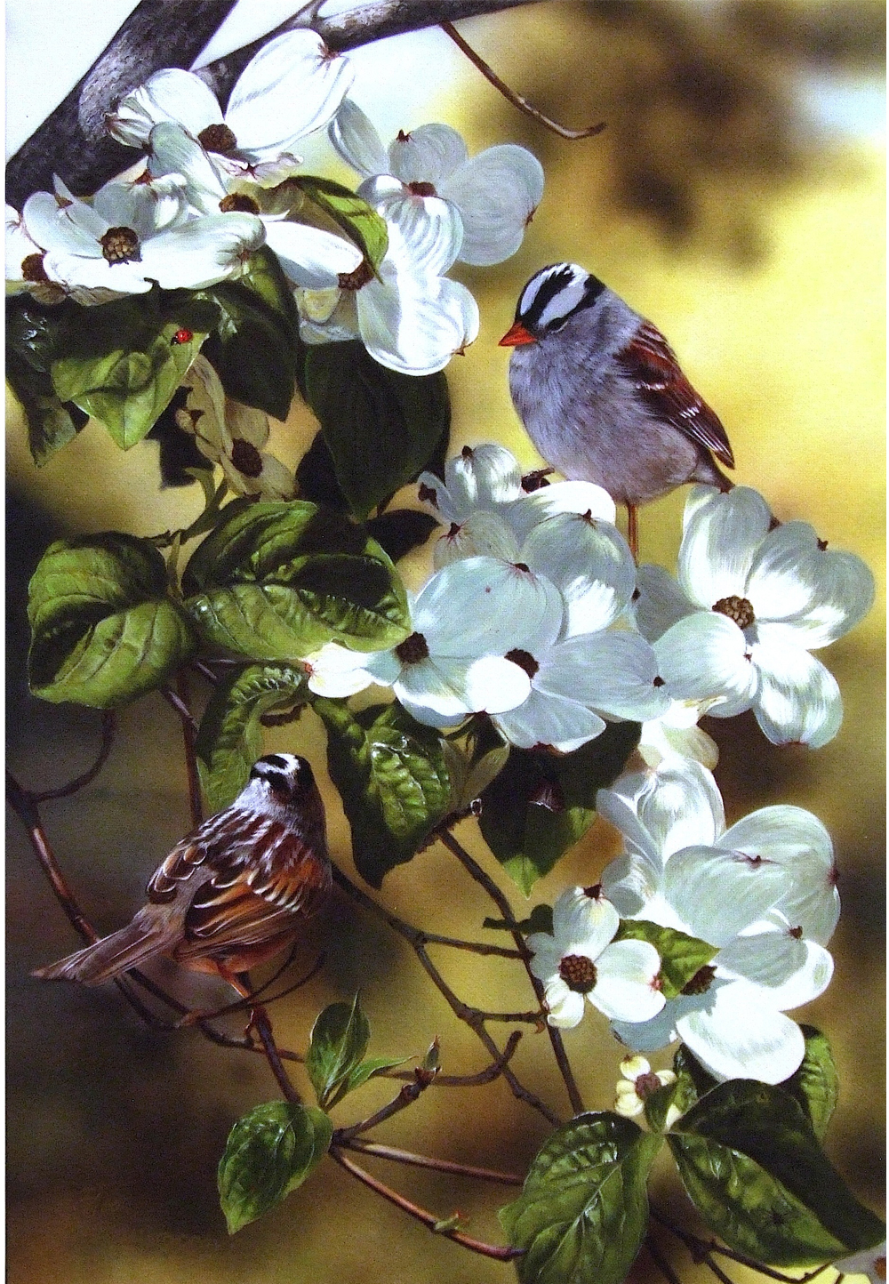 'White-Crowned Sparrows And Dogwood'